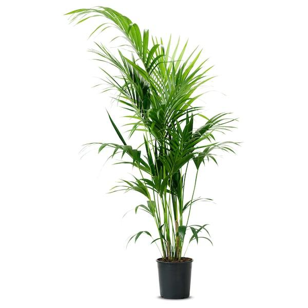 CHRYSALIDOCARPUS LUTESCENS Potted plant, Areca palm, 32 cm