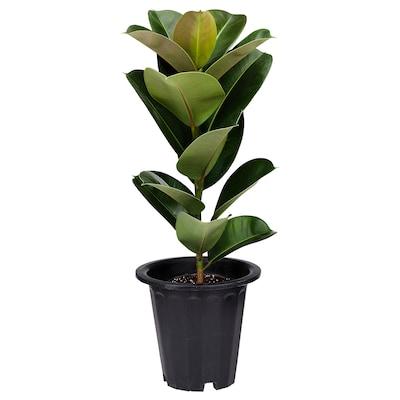 FICUS ELASTICA Potted plant, Rubber plant, 24 cm