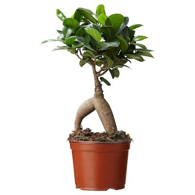 FICUS Potted plant, bonsai, 11 cm