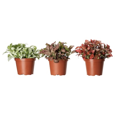 FITTONIA Potted plant, mosaic plant assorted, 9 cm