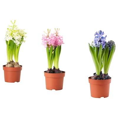 HYACINTHUS Potted plant, 3 bulbs, Hyacinth assorted colours, 12 cm