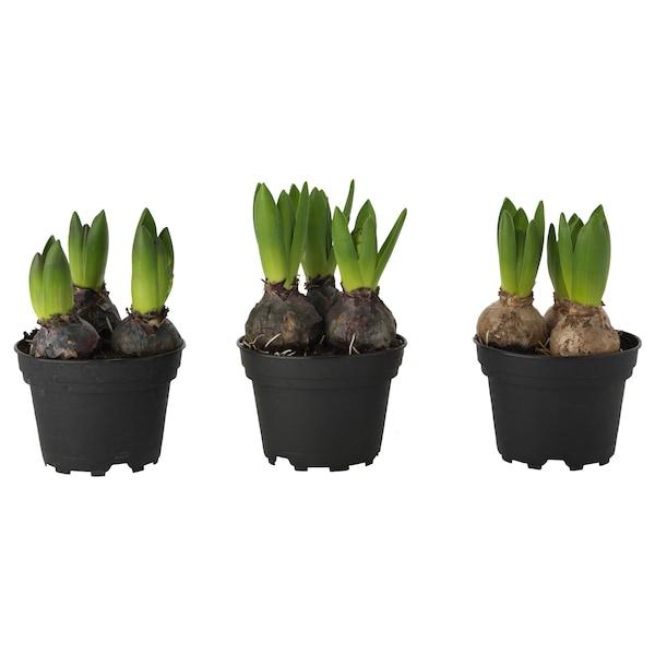 IKEA HYACINTHUS Potted plant, 3 bulbs