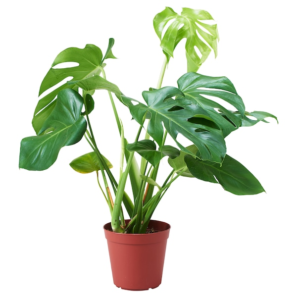 MONSTERA DELICIOSA Potted plant, Swiss cheese plant, 15 cm