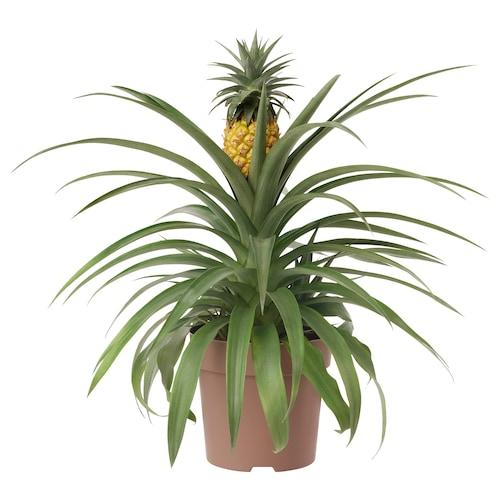 ANANAS rastlina v kvetináči ananás 15 cm 45 cm