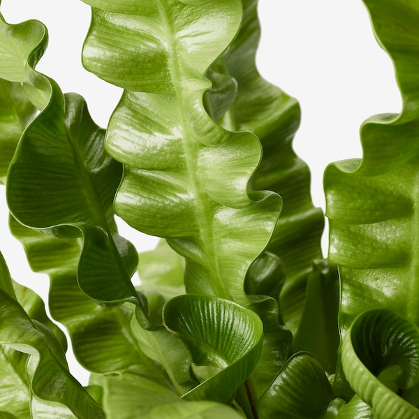 ASPLENIUM 'CRISPY WAVE' rastlina v kvetináči 12 cm 30 cm