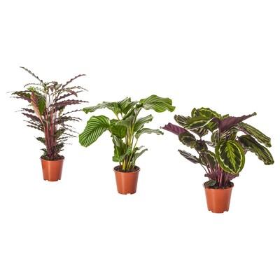 CALATHEA Rastlina v kvetináči, Calathea/rôzne druhy, 19 cm