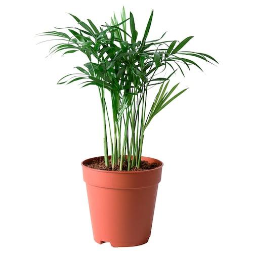 CHAMAEDOREA ELEGANS rastlina v kvetináči Izbová palma 9 cm 20 cm