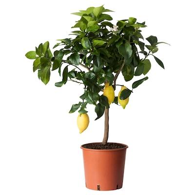 CITRUS Črepníková rastlina, citrón, 21 cm