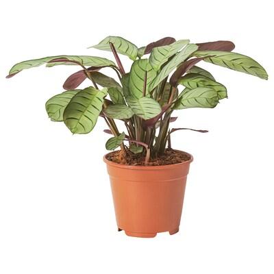 CTENANTHE Rastlina v kvetináči, 14 cm