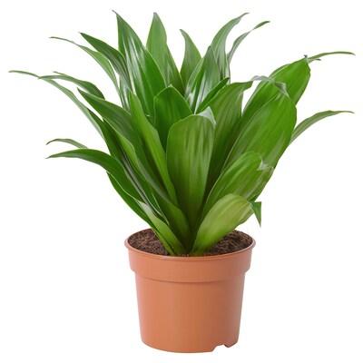 DRACAENA FRAGRANS 'COMPACTA' Rastlina v kvetináči, 9 cm
