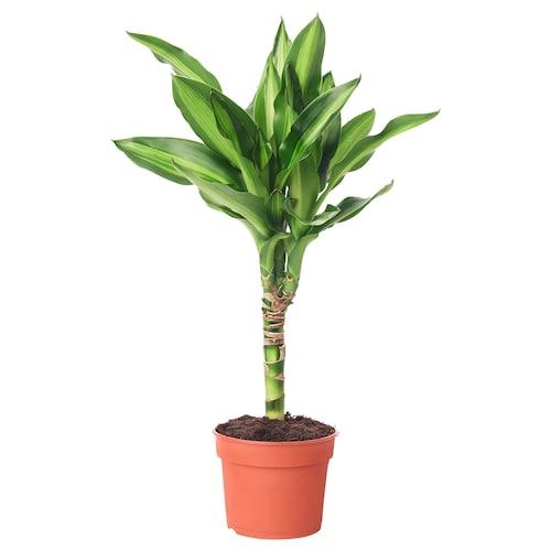 DRACAENA rastlina v kvetináči 9 cm 35 cm