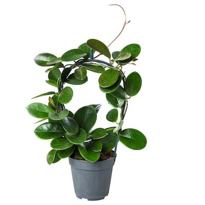 HOYA Rastlina v kvetináči, sukulent, 12 cm