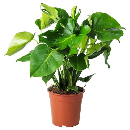 MONSTERA rastlina v kvetináči Monstera skvelá 21 cm 65 cm