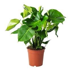 MONSTERA Rastlina v kvetináči €12,99