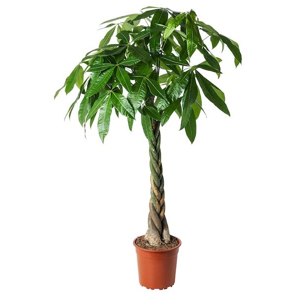 PACHIRA AQUATICA Rastlina v kvetináči, PACHIRA AQUATICA, 27 cm
