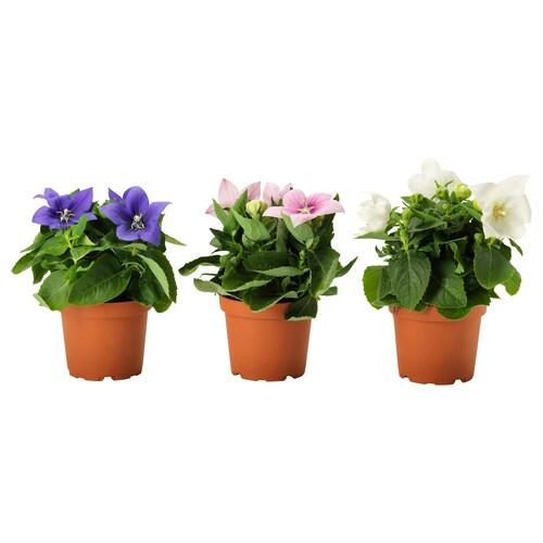 PLATYCODON rastlina v kvetináči Balónovník veľkokvetý/rôzne druhy 12 cm 22 cm