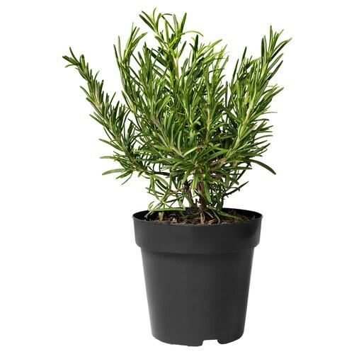 ROSMARINUS OFFICINALIS črepníková rastlina ROSMARINUS 15 cm 25 cm
