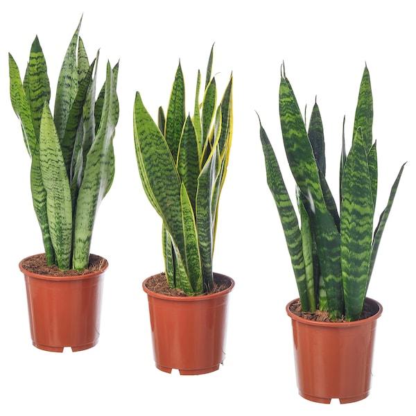 "SANSEVIERIA TRIFASCIATA rastlina v kvetináči SANSEVERIA TRIFSCIATA ""LAURENTII"" 14 cm 40 cm"