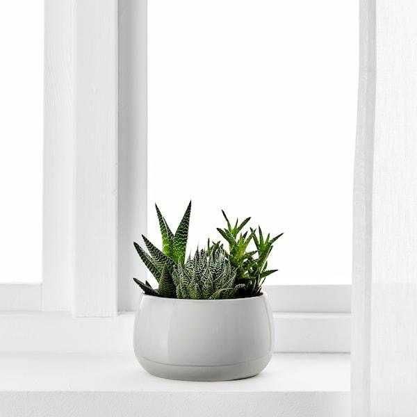 SUCCULENT Rastlina v kvetináči, sivá, 12 cm
