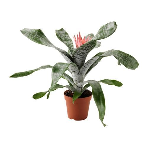 aechmea potted plant ikea. Black Bedroom Furniture Sets. Home Design Ideas