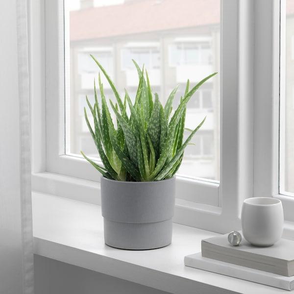 "ALOE VERA potted plant 4 "" 7 ¾ """