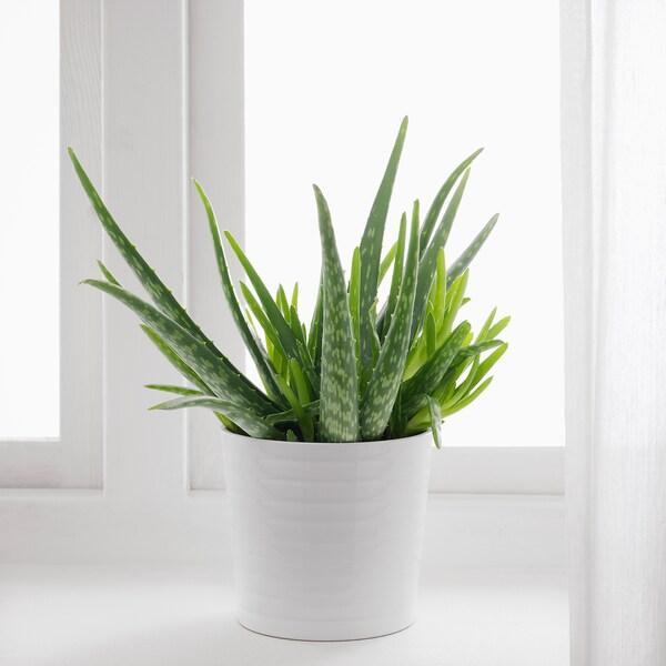 "ALOE VERA Potted plant, 4 """