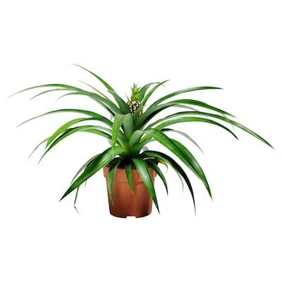 """ANANAS Potted plant, assorted species plants, 5 """""""