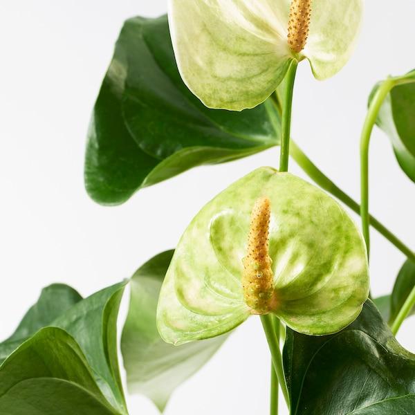 """ANTHURIUM Potted plant, Flamingo plant assorted colors, 4 """""""