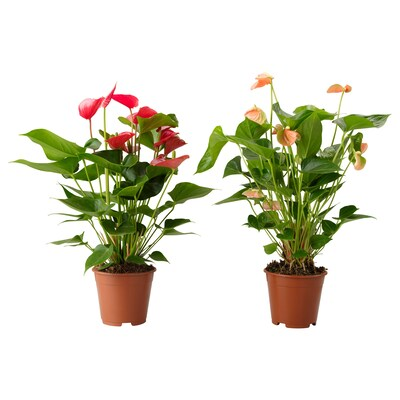 ANTHURIUM Potted plant, Flamingo plant assorted colors, 4 ""