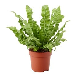 ASPLENIUM 'CRISPY WAVE' potted plant