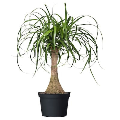 BEAUCARNEA RECURVATA Potted plant, Elephant's foot, 6 ""