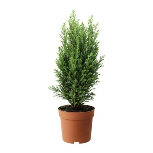 CHAMAECYPARIS Potted plant, False cypress