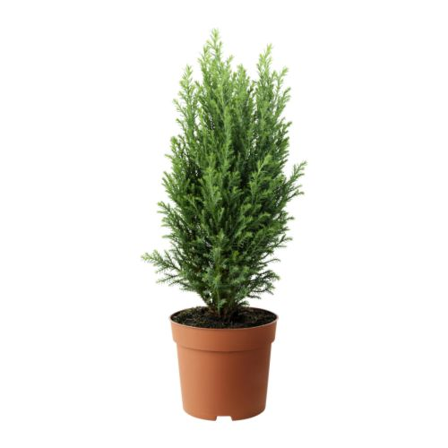 Chamaecyparis Potted Plant Ikea