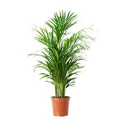 CHAMAEDOREA CATARA potted plant, Cat palm