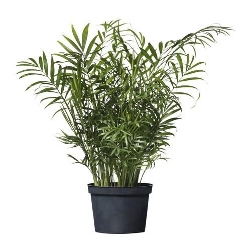 CHAMAEDOREA ELEGANS Potted plant, Parlor palm