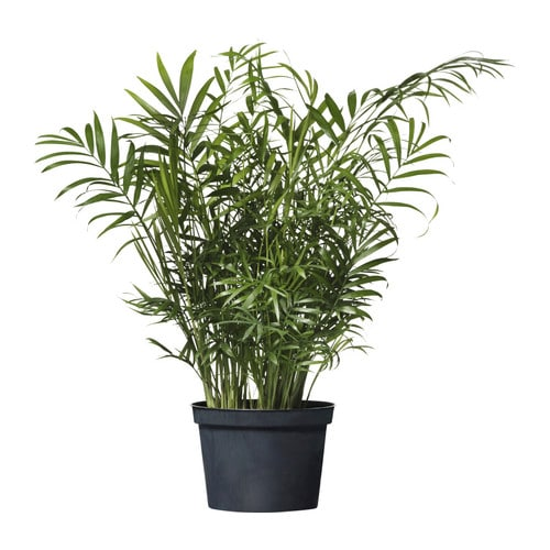 Chamaedorea elegans potted plant ikea for Ikea plantes
