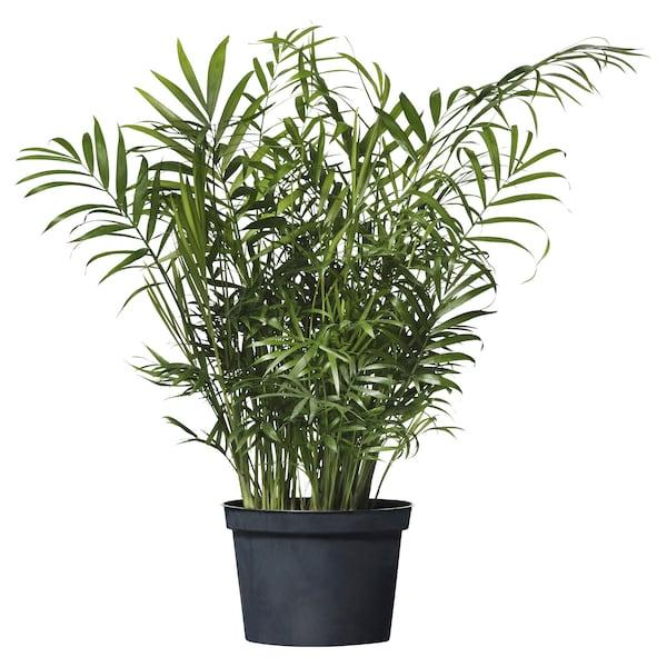 """CHAMAEDOREA ELEGANS potted plant Parlor palm 6 """" 17 ¾ """""""