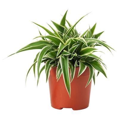 """CHLOROPHYTUM Potted plant, Spider plant, 5 """""""