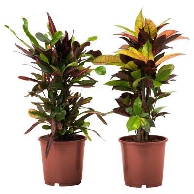"""CODIAEUM Potted plant, croton, 6 """""""