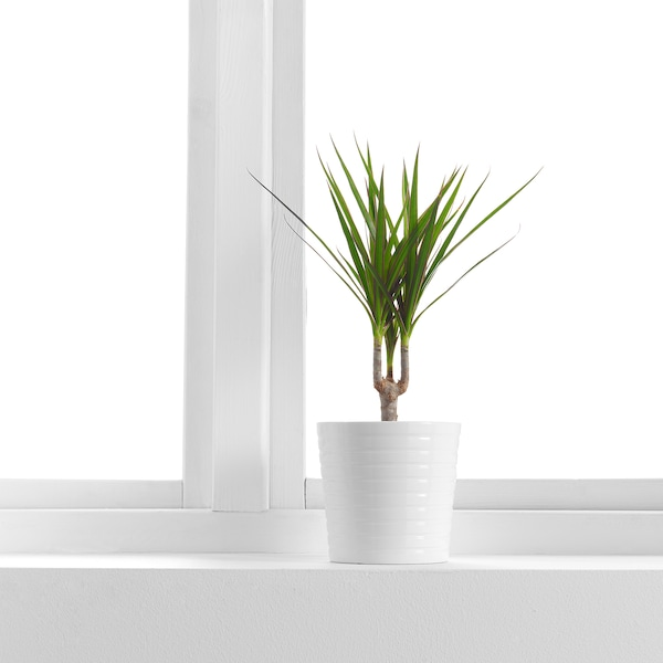 "DRACAENA MARGINATA Potted plant, Dragon tree/1 stem, 4 ¼ """