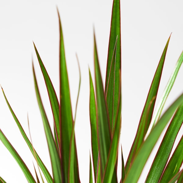DRACAENA MARGINATA Potted plant, Dragon tree/1 stem, 4 ¼ ""