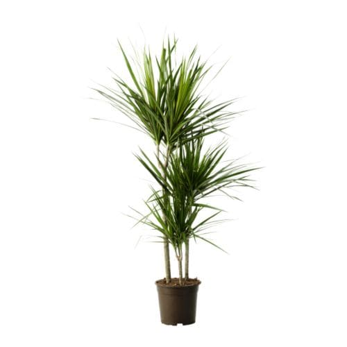 Dracaena marginata potted plant ikea for Plante dracaena