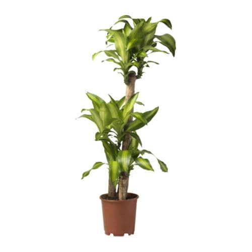 Dracaena massangeana potted plant ikea for Plante dracaena