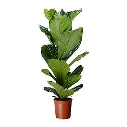 FICUS LYRATA potted plant, fiddle-leaf fig