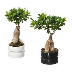 FICUS MICROCARPA GINSENG plant with pot, bonsai, assorted colors