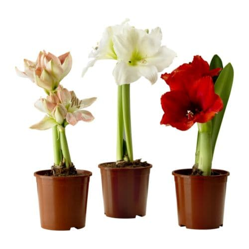"HIPPEASTRUM Potted plant, Amaryllis, 2 buds assorted colors Diameter of plant pot: 5 "" Height of plant: 7 ¾ ""  Diameter of plant pot: 13 cm Height of plant: 20 cm"