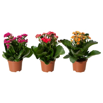 """KALANCHOE Potted plant, Flaming Katy/assorted colors, 4 ½ """""""