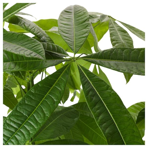 """PACHIRA AQUATICA Potted plant, Guinea chestnut, 5 """""""