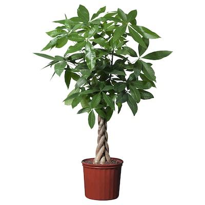 """PACHIRA AQUATICA Potted plant, Guinea chestnut, 10 """""""