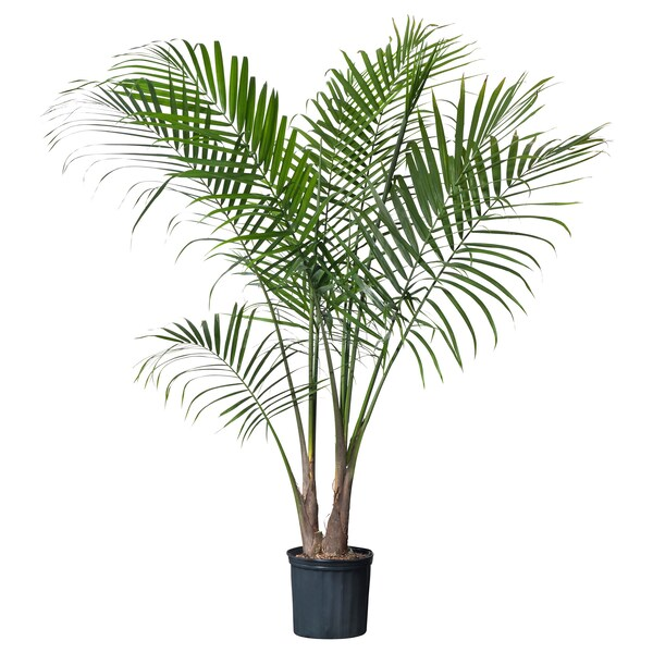 "RAVENEA Potted plant, Majesty palm, 9 ¾ """